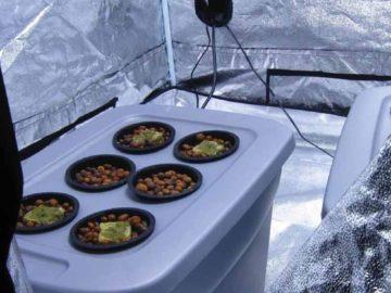coltivazione indoor autofiorenti guida pratica